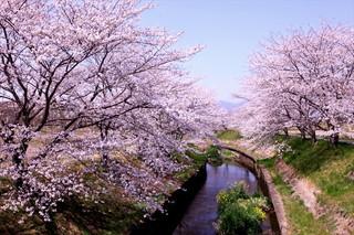 デジタコ&物流情報システム開発のフルバック@鹿化川の桜